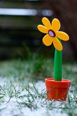 Do it yourself spring (glukorizon) Tags: brown plant flower green grass yellow pen fence garden groen sneeuw plastic flowerpot athome gras tuin thuis geel bruin hek bloem odc bloempot schutting kunststof odc2 ourdailychallenge beginswitha