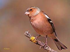 Pinzón vulgar         (Fringilla coelebs) Este ave poso para mi camara (eb3alfmiguel) Tags: aves granívoros pinzón vulgar pájaros