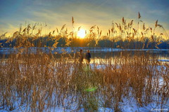 Reed in Sunlight (smuta2006) Tags: winter light sunset sky people woman cloud sun sunlight snow man reflection tree ice beach reed nature water cane creek river landscape island golden evening frozen bush scenery couple frost branch glow grove walk sony magic bank ukraine rush hour twig gleam shrub kiev hdr magichour goldenhour backwater floe copse nex dnieper photomatix icebound nondslr nex5r