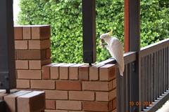 Australian White Cockatoo 1 (Aza pix archive) Tags: australianwhitecockatoo