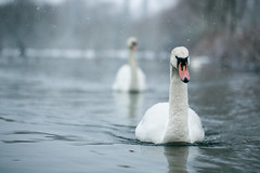 Nimbus Of Winter (Pair Of Swans In Snow), Rickmansworth (flatworldsedge) Tags: winter lake snow water swan pair swans chase ripples flakes glassy rickmansworth aquadrome