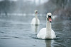 Nimbus Of Winter (Pair Of Swans In Snow), Rickmansworth (flatworldsedge) Tags: winter lake snow water swan pair swans chase ripples flakes glassy rickmansworth aquadrome potd:country=gb yahoo:yourpictures=bestof2013 yahoo:yourpictures=powernature