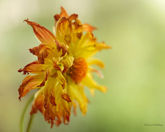 wilted (loobyloo55) Tags: flowers flower green nature yellow canon flora f18 50mmlens canon7d