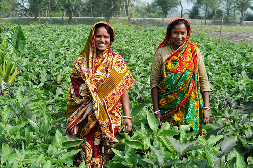Women growing eggplant in Chitalmari, Khulna, Bangladesh. Photo by Finn Thilsted, 2012.