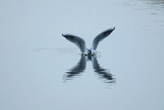 Kissing... (SteveJM2009) Tags: uk light reflection water river march wings cornwall gull flight surface x landing camel letter ripples splash 44 blackheadedgull stevemaskell wadebridge 2013 chroicocephalusridibundus 113in2013