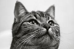 Elegant (EvasSvammel) Tags: beauty cat elegant sivan katt elegante