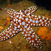 Dana Murray Sea Star