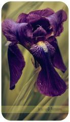 Aspettando primavera (in eva vae) Tags: iris flower macro green closeup canon spring eva purple frame subiaco 500d preset ligthroom inevavae