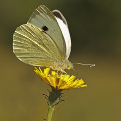Garden White (Pieris sp.) (Sinkha63) Tags: france macro nature animal butterfly square die wildlife lepidoptera papillon fra pieris pieridae pierinae rhnealpes piride