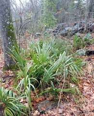 Sabal clump in Beavers Bend (drterdal) Tags: palm palmetto sabal mccurtain sabalminor coldhardy