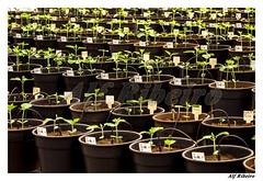 0079 - 0126 (Alf Ribeiro) Tags: brazil brasil digital agriculture economy cor soja economia estufa embrapa muda londrina amricadosul agricultura agribusiness agrcola agronegcio belavistadoparaso transgnico biocombustivel alfribeiro