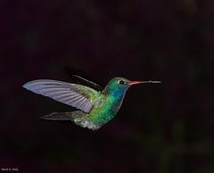 Broad-billed Hummingbird, Cynanthus latirostris (markvcr) Tags: arizona hummingbird az hummer boycethompsonarboretum broadbilledhummingbird cynanthuslatirostris supershot specanimal abigfave natureselegantshots naturesharmony blinkagain 5wonderwall vigilantphotographersunite