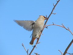 Snack on the Fly (USFWS Mountain Prairie) Tags: bohemianwaxwing nationalelkrefuge