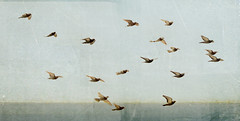 flight (RL Mulholland) Tags: blue sky painterly texture textura birds animals grey fly flying movement pigeons air flight palomas 1855mm simple textured volar lesbrumes canoneos600d rebelt3i