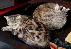 Paul and Beck, sleeping next to me in bed (Hairlover) Tags: old pet cats pets cat kitten tabby kitty kittens kitties kittys oldcat multiplecats threeleggedcat agedcat 24yearoldcat catcatskittykitties
