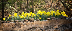 Daffodils in a Cement box (Sierra Springs Photography) Tags: flower spring daffodil placerville pleasantvalley