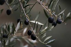 Sabor mediterráneo (marathoniano) Tags: naturaleza art nature landscape arte natura paisaje aceitunas mediterráneo albacete olivo sabor ayna marathoniano ramónsobrinotorrens