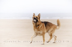 (Scooby53) Tags: uk family portrait england sky dog pets holiday cute beach dogs water photoshop fun nikon getty germanshepherd alsatian gettyimages maleanimal domesticanimal familyuk scooby53 gettyuk welcomeuk