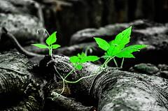 Go Green (Ami VONDo) Tags: wood plants green nikon bangladesh mehrab saifuzzaman