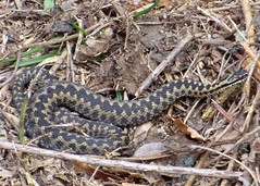 Male Adder (Trevor Barton) Tags: week1 adder lepe