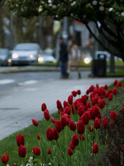 Tulipanes de ciudad (Rodion Quidam) Tags: road street city red people blur flower color tree tallo primavera car bulb garden faro calle spring rojo stem focus branch gente carretera flor ciudad petal sidewalk galicia coche desenfoque tulip rbol bloom camelia headlight camellia crosswalk pontevedra rama zebracrossing tulipa jardn ra acera foco tulp bulbo tulipn camelio pasodecebra pasodepeatones ptalo florecer camelliatree zuiko135mmf35 mygearandme mygearandmepremium