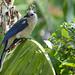 Un bell'uccello con il ciuffo