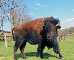 (vmax4coco) Tags: animal cow buffalo plains bison