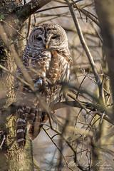 Barred Owl (It's About Time!) (Mitch Vanbeekum Photography) Tags: newjersey nj owl barredowl greatswamp baskingridge strixvaria thewonderfulworldofbirds canon5dmkiii canonef500mmf4is canon14teleconvertermkiii