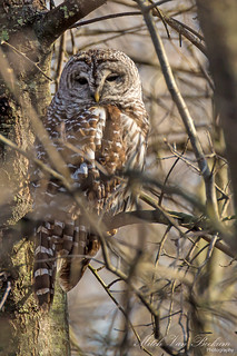 Barred Owl (It's About Time!)