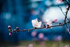 Dreaming of Almonds (moaan) Tags: life leica light sunlight 50mm dof blossom bokeh dr almond summicron utata blossoming m9 f20 2013 inlife leicasummicron50mmf20dr leicam9