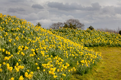 Daffodil delight (juliereynoldsphotography) Tags: flowers spring cheshire daffodils juliereynolds