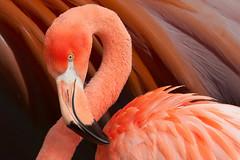 flamingo_1451_edit1 (JGKphotos) Tags: bird birds john flamingo flamingos kunze topazremask photoshopelements11