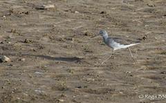 Et pourtant, ce n'est pas une gazelle... (Régis B 31) Tags: bird oiseau ariège charadriiformes commongreenshank tringanebularia mazères chevalieraboyeur scolopacidés canon5dmarkiii domainedesoiseaux