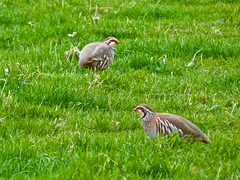 red-legged partridge (nannyjean35) Tags: red grass birds stripes feathers straw partridge beaks redlegged