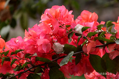 ,     ... (manwar2010) Tags: bougainvilleaflower uluberia