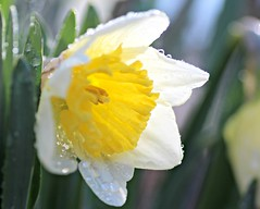 I BELIEVE IN GOD AS I BELIEVE THAT THE SUN HAS RISEN: NOT ONLY BECAUSE i SEE IT, BUT BECAUSE BY IT I SEE EVERYTHING ELSE. (marsha*morningstar) Tags: white green water floral sunshine yellow droplets spring stem god bokeh dew daffodil springflowers shallowdepthoffield