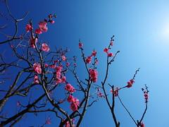 Ume blossom (akashirokiiro) Tags: lumix  plumblossoms japaneseapricot umeblossom   prunusmume gf2