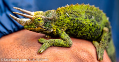 Jackson's Chameleon found at Pali Lookout #Hawaii #Photograph (racketrx) Tags: hawaii oahu lookout kaneohe pali chameleon palilookout jacksons jacksonschameleon