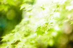 Rustling Green (moaan) Tags: life sunshine digital stars dof shine wind bokeh momiji japanesemaple utata breeze 2013 rustling inlife greenstars canoneos5dmarkiii ef70200mmf28lisiiusm
