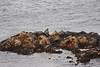 Stranieri al Mare (Wrinzo) Tags: ocean sea scotland rocks seal rocce atlanticocean foca oceano foula scozia atlanticsea scoglio oceanoatlantico shetlandislands isoleshetland