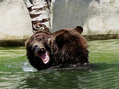 Grizzly Bears (Photos by the Swamper) Tags: bears grizzlybear
