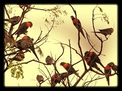 noisy but nice rainbow lorikeets roosting (jeaniephelan) Tags: australia birds lorikeets rainbowlorikeets