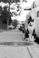 Chatte (Bo No Bo) Tags: d7100 montral qubec jour day extrieur outdoors t summer chat cat noiretblanc blackandwhite avenuebeaumont petiteitalie trottoir sidewalk gout bouchedgout