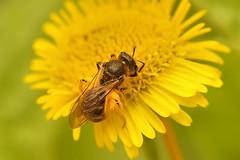 Groefbij - Lasioglossum species (henk.wallays) Tags: macro nature closeup europa belgium wildlife natuur location westvlaanderen aaaa vlaanderen ploegsteert henkwallays