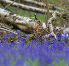 Tawny in the Bluebells (Steven Whitehead (Away)) Tags: tawnyowl owl owls nature woods birds birdofprey bird canon blue bluebells flowers feeding feathers
