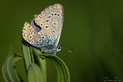 DRL_1052-2 (romain-dreux-photo) Tags: butterfly argusbleu polyommatusicarus nature canada macro proxy