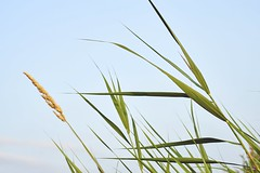 Reed Plume (Wijnand Kroes Photography) Tags: reed reedplume plume sky blue green nature