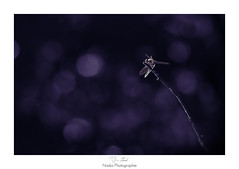 L'or prune (Naska Photographie) Tags: naska photographie photo p photographe paysage proxy proxyphoto libellule agrion odanate dragonfly dragonflie extrieur insectes nature eos canon sigma bokeh