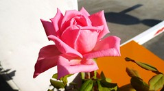 Pink rose of benaki 5 (chaya760 aka Kristian Sagia) Tags: rose pink flower blumen fiori fleur nature beauty