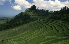 Bali, near Ubud, rice fields (blauepics) Tags: indonesien indonesia indonesian indonesische bali island ubud trees bume natur landscape landschaft reisfelder rice reis fields terraces terrassen clouds wolken green grn agriculture landwirtschaft